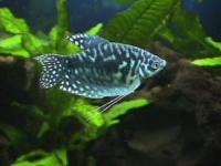Гурами Мраморный /Trichogaster Тrichopterus
